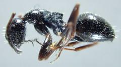 Camponotus piceus (Leach 1825)  (Hymenoptera Formicid Formicin Camponotini) (ciaociaoxxx) Tags: ant animalia arthropoda hymenoptera insecta hexapoda formicidae camponotus formicinae camponotini camponotuspiceus