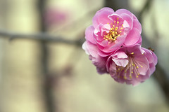 Plum Blossom (Johnnie Shene Photography(Thanks, 2Million+ Views)) Tags: pink wild people flower colour macro nature floral beautiful horizontal closeup canon lens wonder photography eos rebel living daylight dc spring flora focus scenery kiss day natural image blossom outdoor no wildlife blossoms scenic plum sigma tranquility scene korea depthoffield korean stamen flowering magnified awe tranquil adjustment freshness foreground t3i x5 organism 꽃 봄 fragility 접사 600d 1770mm f284 매화 매화꽃 심도