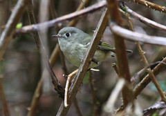 Ruby-crowned Kinglet - female (Wild Chroma) Tags: usa birds female regulus lynnwood calendula reguluscalendula kinglet passerines
