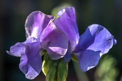 Shades Of Blue - 3431 (www.karltonhuberphotography.com) Tags: park blue light flower nature garden spring colorful soft purple vivid happiness romance southerncalifornia delicate blooming flowerpetals 2016 fullertonarboretum calstatefullerton flowerphotography karltonhuber