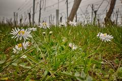 Spring in the vineyards (kewl) Tags: france flower macro vineyard basrhin molsheim 67560 rosheim francemtropolitaine alsacechampagneardennelorraine alsacechampagneardennelorrain molshengass