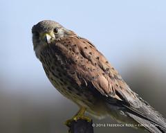 Common Kestrel [Falco tinnunculus] male ( Freddie) Tags: london kes kestrel londoncityairport commonkestrel newham e16 royaldocks windhover