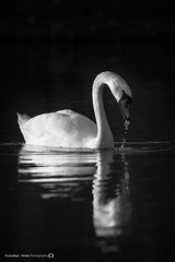 (jonathan_ed1984) Tags: lake canon spring swan wildlife british leigh britishwildlife penningtonflash pennington muteswan brittish 2016 7dmkii