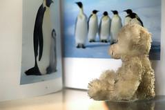 my little polar bear - reading the menu card (andreas.klodt) Tags: bear teddy br teddybr