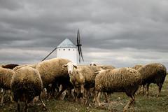 Kijk (Bram Meijer) Tags: windmill spain sheep spanje lamancha donquijote schapen molens windmolens campodecriptana