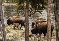 Hightailing It (Kim Tashjian) Tags: animals buffalo wildlife yellowstonenationalpark wyoming calf bison