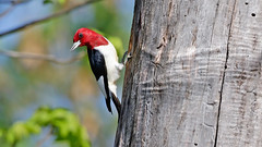 Red-headed Woodpecker by Steve Gifford (Steve Gifford - IN) Tags: county red bird nature photo woodpecker wildlife steve picture indiana photograph steven society gibson redheaded headed audubon gifford ias haubstadt