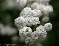 A Radical is a man with both feet firmly planted--in the air. A Conservative is a man with two perfectly good legs who, however, has never learned to walk forward. A Reactionary.... (itucker, thanks for 4+ million views!) Tags: macro bokeh dukegardens spirea hbw bridalwreathspirea