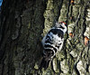 Lesser spotted woodpecker // Dryobates minor (Jevgenijs Slihto) Tags: bird woodpecker birding pic aves ave pico pajaro vogel oiseaux dendrocoposminor picidae kleinspecht picapaus picapaumalhadopequeno picomenor picépeichette дятел picoidesminor малыйпёстрыйдятел dryobates dryobatesminor hx300 sonyhx300 малыйдятел