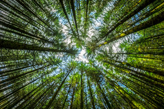 Looking Up (Nic Taylor Photography) Tags: trees forest woodland woods sony fisheye samyang 8mmfisheye sonyalpha a7r club16 samyangfisheye samyang8mmf35mcfisheye sonya7r sonyilce7r