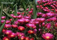 ( Graa Vargas ) Tags: pink flower mv lampranthus balsamo graavargas cactomargarida 2016graavargasallrightsreserved