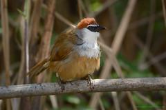 / Chestnut-capped Babbler / Timalia pileata (bambusabird) Tags: birds animals forest thailand nikon rainforest wildlife tropical oriental chiangrai babbler bambusabird namkhum