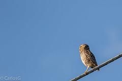Cucú, Burrowing Owl (Athene cunicularia) (Gogolac) Tags: birdphotography dominicanphotographers dominicanwildlifephotographer wildlife wildlifephotography
