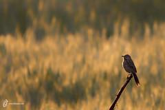 Common Babbler (fahadee) Tags: pakistan wild nature birds amazing wildlife common karachi sindh bir babbler mirpur fahadee