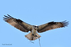 Osprey with nesting material (Photo.MisT) Tags: sky bird flying sticks nest osprey nesting