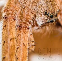 Pisaurina mira - 105mm macro (ben.scalf) Tags: ohio macro nature bug insect spider eyes nikon cincinnati wildlife arachnid science micro dslr biology 105mm d3200