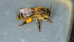 C'est lourd  IMG_9810_1 (fredpiv) Tags: canon bee abeille tamronsp90mm 60d canon60d canonfrance canoneos60d tamronsp90mmf28divcusdmacro11 ruchersdejouy