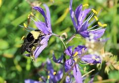 camus and bee (joybidge) Tags: spring bee victoriabc camus naturepatternscanada trishcanada