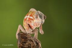 Ambilobe Panther Chameleon - on your marks...... D75_2782.jpg (Mobile Lynn) Tags: england nature fauna unitedkingdom wildlife captive chameleon bournemouth reptiles coth ambilobepantherchameleon nosyboraha nosyborahapantherchameleon