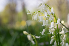 White spring... (.: mike | MKvip Beauty :.) Tags: flowers orange white macro green nature yellow germany spring europe zoom bokeh availablelight sony ngc naturallight handheld snowdrops wildflowers alpha makro karlsruhe mth oss shallowdof aspherical extremebokeh smoothbokeh sonyalpha bokehlicious powerzoom sonyg beyondbokeh emount mkvip selp18105g epz18105mmf4goss sel18105g sonyalpha6000 ilce6000 sonyilce6000 sony6000 6000 sonyepz18~105mm4goss