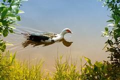 Unusual Duck (Maggggie) Tags: lake water duck domestic greenery opening nik filters graduating week17 52in2016
