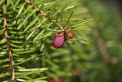 Fichte / spruce (Picea) (HEN-Magonza) Tags: nature germany deutschland flora natur mainz spruce springtime fichte frhling picea rhinelandpalatinate botanischergartenmainz rheinlandpalz mainzbotanicalgardens