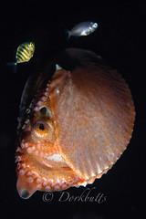 IMG_5755 (nealmoc) Tags: hawaii bigisland blackwater kona nautilus cephalopod pelagic kailuakona underwaterphotography papernautilus