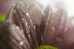 Dusky Rose II (Explore!) (majestiele.co.uk) Tags: flowers flower dusty nature rose droplets spring cut fresh drip gerbera bloom waterdrops chrysanthemum waterdroplets