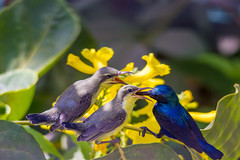 Purple sunbirds (Santanu Sen) Tags: bird colors animal wildlife urbanwildlife sunbird purplesunbird