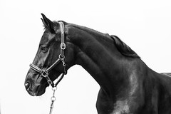 Black horse (elena.barsottelli) Tags: bw horse black eyes hannover dettagli cavalli blackhorse biancoenero contrasto