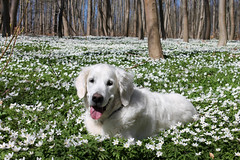 Wood anemones in full bloom (Ingrid0804) Tags: wood smile forest goldenretriever denmark happy spring anemones lifeisgood whiteflowers happydog fieldofanemones 100commentgroup