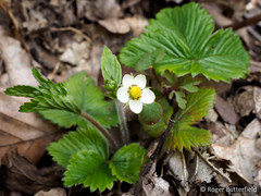 Wild Strawberry (Roger B.) Tags: unitedkingdom wildflower wildstrawberry barnsley southyorkshire fragariavesca ancientwoodlandindicator sheephousewood