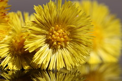 Spring Yellows (CCphotoworks) Tags: macro yellow reflections spring pretty details stock wildflowers springflowers yellowflowers stockphotography beautifu beautifulmacro shutterstockcom macroreflections ccphotoworkscom