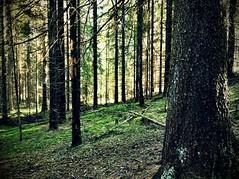 2016 Trip to Sweden - Trollskog (Mrs. Gemstone) Tags: trip trees plant tree forest landscape scary sweden outdoor sinister visit