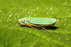 Hordnia atropunctata (Blue-green Sharpshooter) (Nick Dean1) Tags: blue macro green canon bug insect washington washingtonstate sharpshooter animalia arthropoda leafhopper everett arthropod hexapod insecta washingtonusa hemiptera hexapoda bluegreensharpshooter hordniaatropunctata canon7d