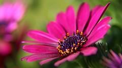 Hot Pink (Erich Hochstger) Tags: pink flower macro nature closeup blossom outdoor natur rosa blume makro blte nahaufnahme canoneos70d sigma18300dcmacro