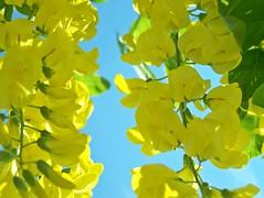 103_1274 (maszat15) Tags: flower color yellow virg aranyes laburnumwatereri srgaakc