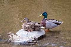 Mallard Pair (Kurayba) Tags: park ca canada macro male water female creek edmonton pentax ducks sigma apo full alberta 400 frame tele ravine mallard f56 mode ff k1 400mm whitemud