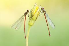 Daylight dancers... (Zbyszek Walkiewicz) Tags: morning macro closeup bugs coth abigfave