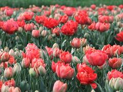 Field bouquet (EvelienNL (Noa's Mommy)) Tags: flowers holland netherlands dutch tulips flowerbed tulip bloemen flevoland tulpen bulbfield flowerfield bollenveld bollenvelden flevopolder tulpenvelden tulpenveld bloemenveld