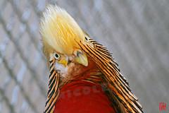 Il me semble vous avoir vu quelque part ? (mamnic47 - Over 5 millions views.Thks!) Tags: portraits oiseaux jardindacclimatation img7431 26042016 portraitsdoiseaux faisandormle