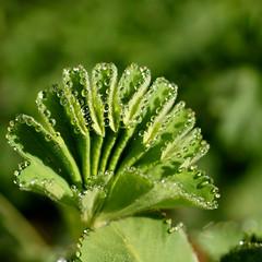 morning dew........ (atsjebosma) Tags: garden droplets spring ngc thenetherlands npc dew tuin groningen lente dauw 2016 alchemillamollis vrouwenmantel druppeltjes atsjebosma