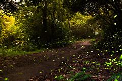 Firefly (Hen) Tags: light mountain tree night forest nikon taiwan d750 taipei   firefly