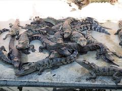 P1092347 (tatsuya.fukata) Tags: elephant thailand crocodile samutprakan crocodilefarm