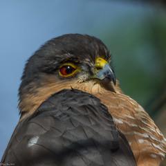 Sharpie's stare (Explored) (Fred Roe) Tags: nature birds hawk wildlife birding raptor birdwatching sharpshinnedhawk birdwatcher accipiterstriatus peacevalleypark nikonafsteleconvertertc14eii nikond7100 nikkorafs80400mmf4556ged lca71b6701
