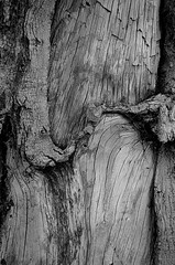 Stories to Tell (pjpink) Tags: wood winter blackandwhite bw tree monochrome virginia january richmond trunk northside rva 2016 pjpink
