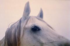 white horse (ViannaVi) Tags: horse film analog dream daimon mystic