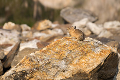 Pika on a Different Rock (linili101) Tags: animal rodent nationalpark wildlife alpine grandtetons tetons pika