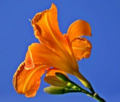 Happy weekend! (fleckchen) Tags: sommer natur himmel blumen gelb lilies garten lilie blten lilien liliy gelbeblumen lilienblte gelbeblten liliengewchs lilienblten