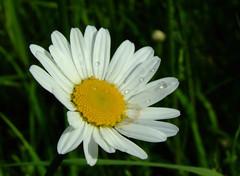 Blume (magicmarcyde) Tags: wasser tau blume blte bltter kamille tropfen knospe stengel margarithe